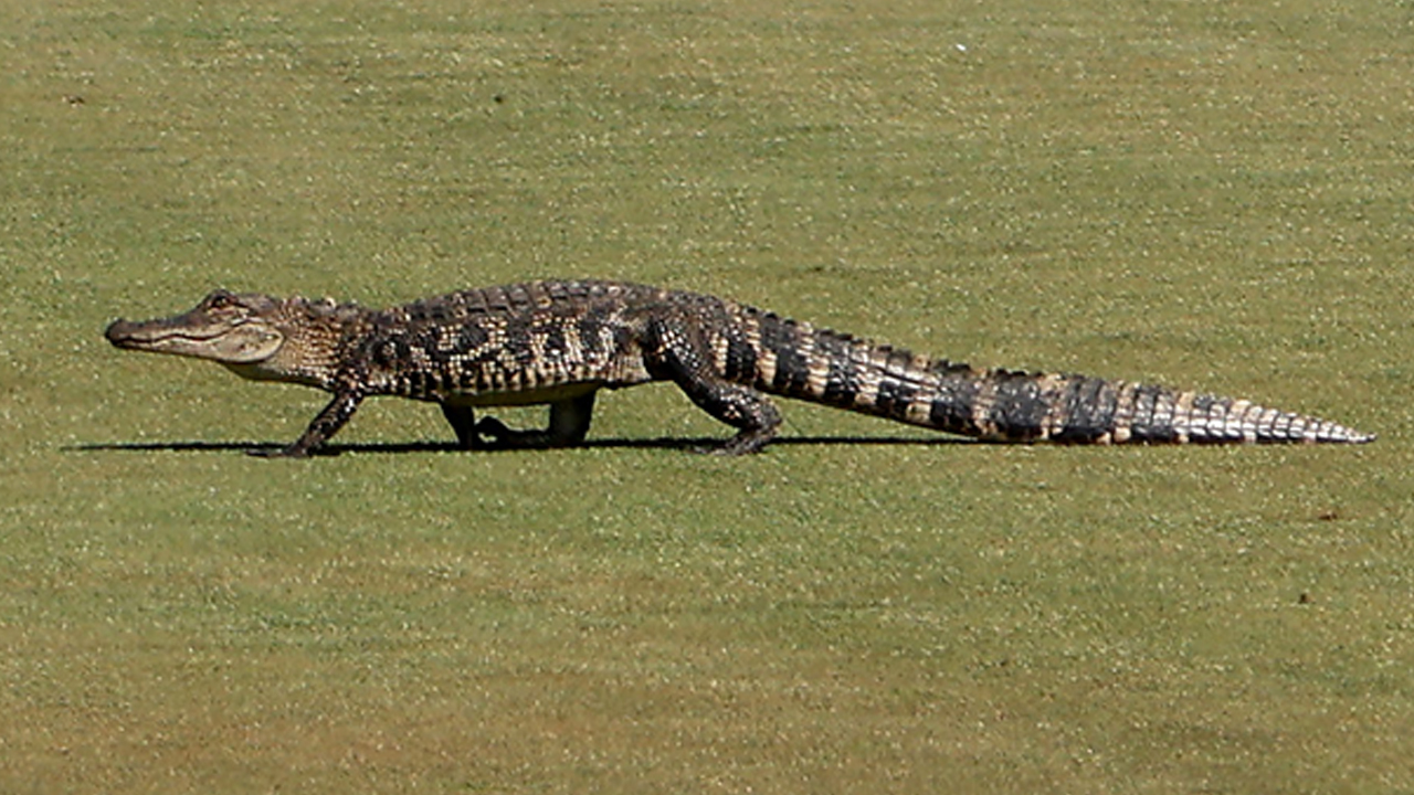 PGA Championship sees brief delay after baby alligator appears on the course